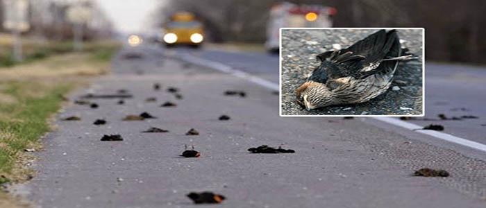 Mass Bird Suicide, Jatinga